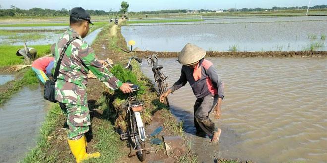 Babinsa Bantu Petani Cabut Dan Mengantarkan Bibit Padi Siap Panen Dengan Sepeda
