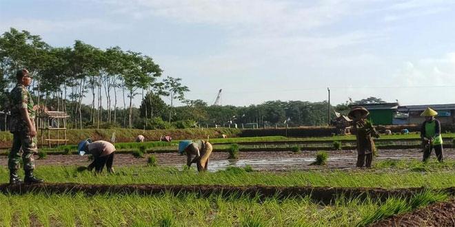 Babinsa Dengan Semangat Memberikan Pengawasan dan Motivasi Terhadap Para Petani